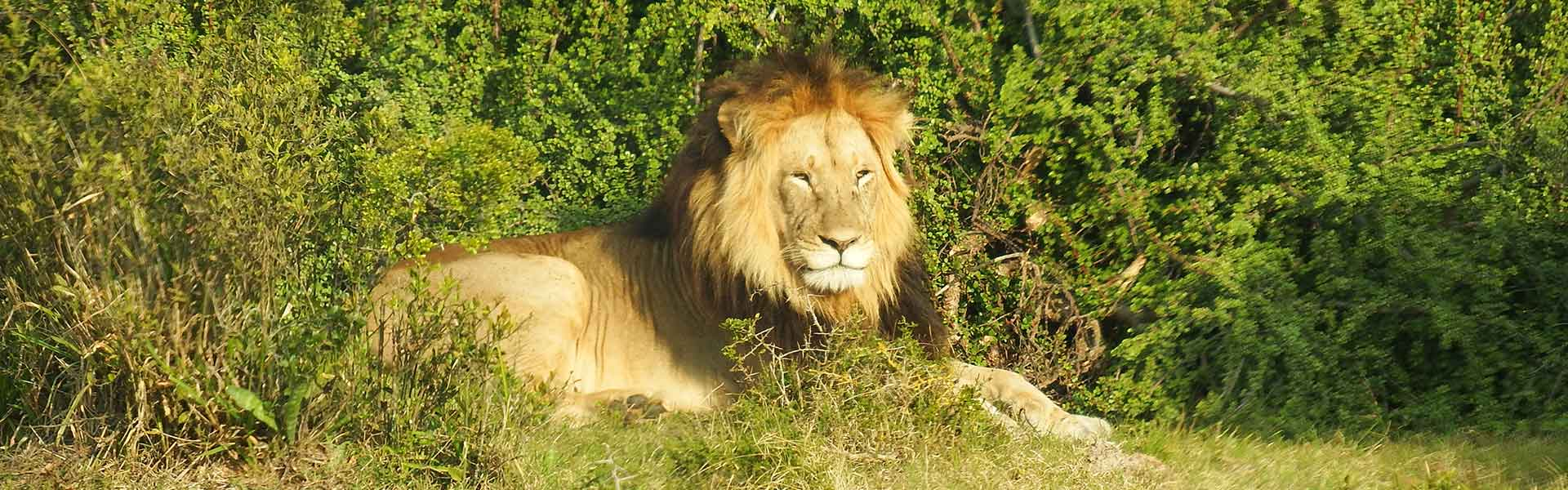 Addo Game Drive - Lion