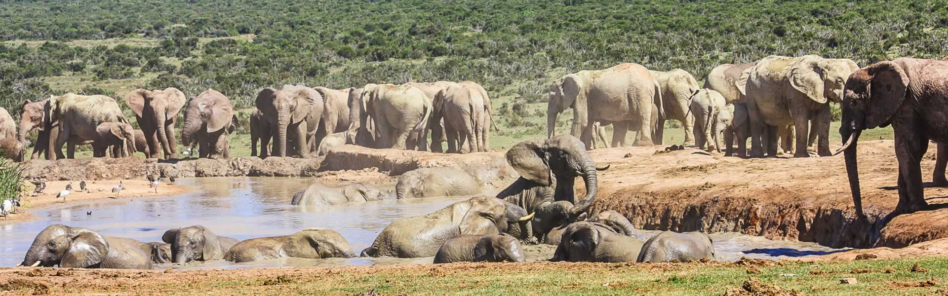 Large group of Elephant in the Addo Elephant National Park